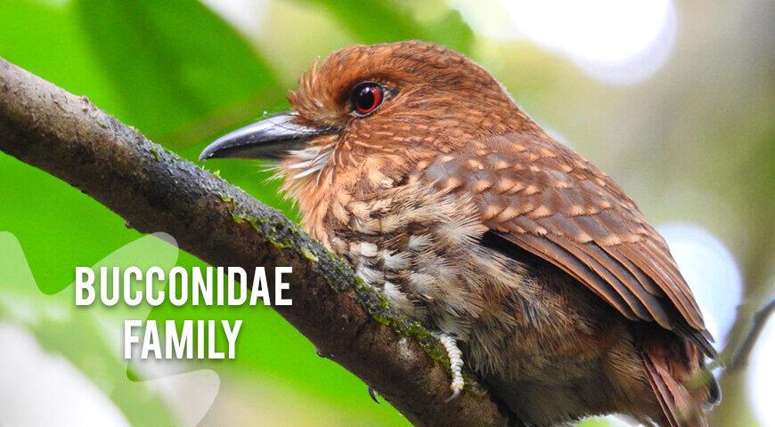 Bucconidae-family