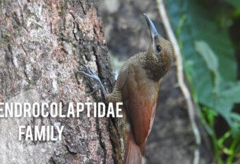Dendrocolaptidae-family