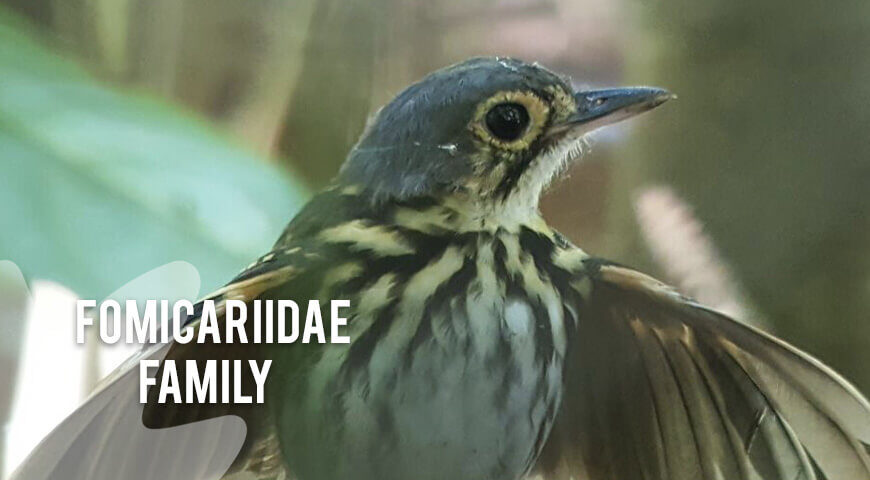 Fomicariidae-family