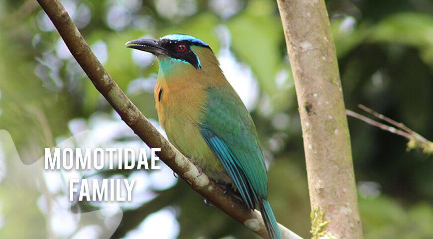 Momotidae-famly