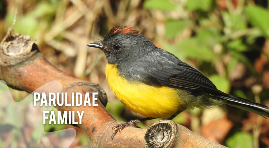Parulidae-Family