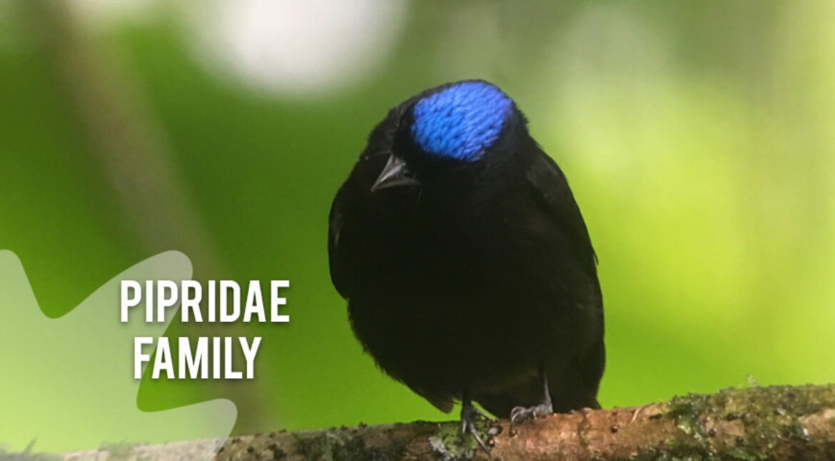 Pipridae-family