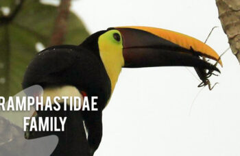 Ramphastidae-family
